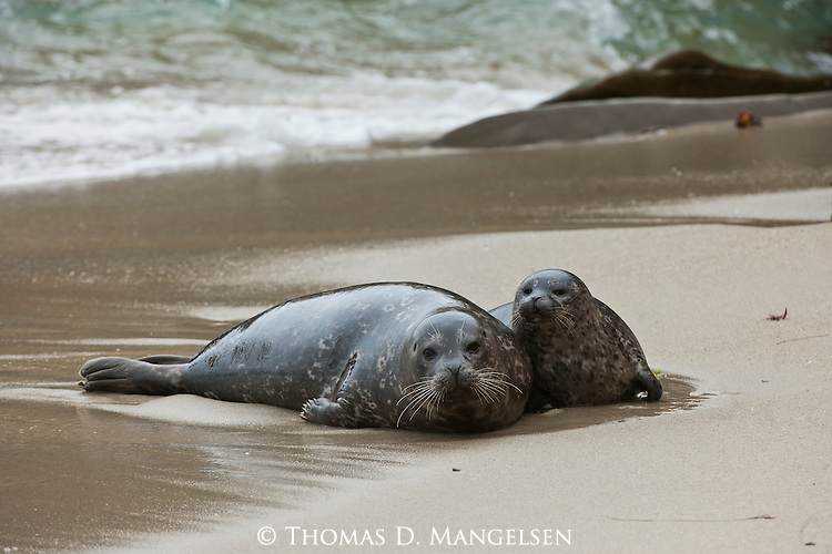 A harbor seal and her pup haul out onto the warm sand of the Children's Pool in southern California.