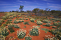 Australia, NSW, Sturt Desert; Wildflowers on red desert sand a few weeks after heavy rains