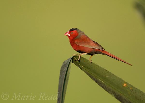 Crimson Finch (Neochmia phaeton) male, Fogg Dam Conservation Area, near Darwin, Northern Territory, Australia