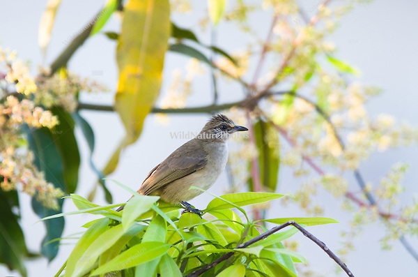 A Streak-eared Bulbul (Pycnonotus blanfordi) hunting from a perch. (Siem Reap, Cambodia)