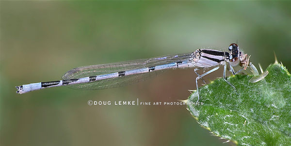 Probably a Bluet Damselfly, Enallagma