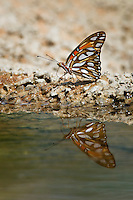 Gulf Fritillary with reflection