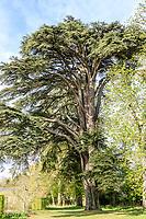 France, Loir-et-Cher (41), Cheverny, château et jardin de Cheverny en avril, le jardin des apprentis, cèdre du Liban, Cedrus libani, planté vers 1870