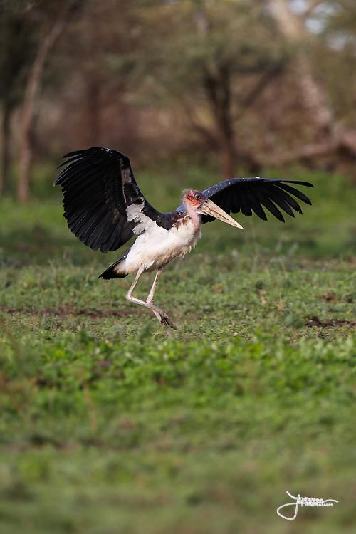 Marabou Stork, Maraboustork, Leptoptilos Crumeniferus, taking off in Ndutu south-eastern Serengeti