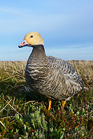 Emperor Goose (Chen canagica). Yukon Delta, Alaska. June.