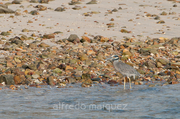 Yellow-crowned Night Heron (Nyctanassa violacea) at stony beach in Pacheca Island. Las Perlas Archipelago, Panama province, Panama, Central America.