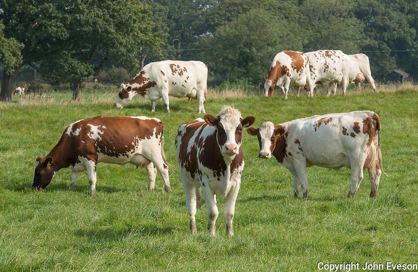 MRI dairy cows.