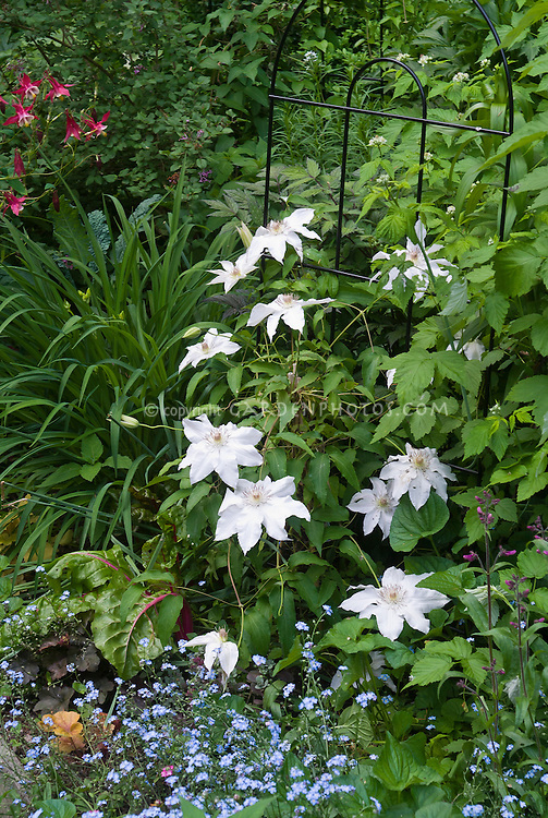 Clematis Hyde Hall aka Evipo009 (EL), white flowers with reddish stamens, with Myosotis, Aquilegia, Heuchera in spring May June garden use