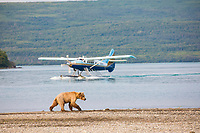 Brown bear walks along the shore of Naknek lake with float plane in the distance, Katmai National Park, Alaska