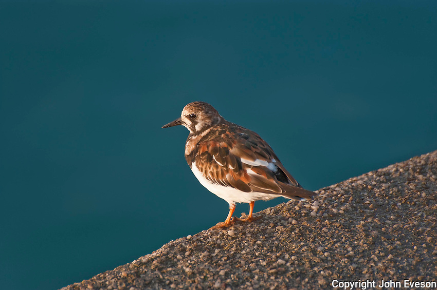 A Turnstone (Arenaria Interpres), Padstow Harbour, Cornwall.