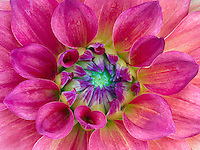 Close up of Dahlia variety Azteca. Oregon