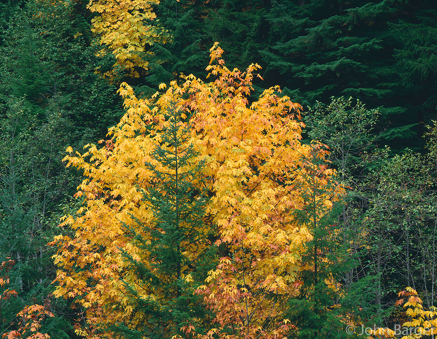 ORCAC_062 - USA, Oregon, Willamette National Forest, Autumn-colored bigleaf maple stands out in conifer forest, McKenzie Valley.