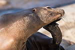 La Jolla, California; an adult California Sea Lion scratches its ear while resting on the rocky shoreline in late afternoon sunlight