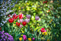 Descanso Gardens, La Canada, Flintridge, Tulips, botanic, colorful, blooming, spring, garden, horticulture