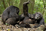 Africa, Uganda, Kibale National Park, Ngogo Chimpanzee Community. Wild Chimpanzee, adult male Bartok groomed by Morton