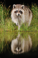 Northern Raccoon (Procyon lotor), adult at night at wetland lake, Fennessey Ranch, Refugio, Coastal Bend, Texas Coast, USA