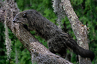 610404009 a wildlife rescue binturong arctictis binturong perches in a moss draped tree near its enclosure at a wildlife rescue facility - species is native to southeast asia and is listed as endangered