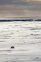 Red fox on the snowy arctic tundra of Alaska's north slope.