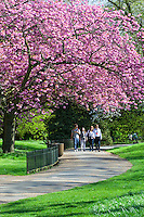 Great Britain, England, London: Cherry Blossom in Hyde Park | Grossbritannien, England, London: Kirschbluete im Hyde Park