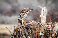 A hawk eating it's prey at Bosque Del Apache National Wildlife Refuge in New Mexico.