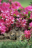 Baby Eastern Cottontail Rabbits, under a flowering Azelea bush, Sylvilagus floridanus, Mount Laurel, New Jersey