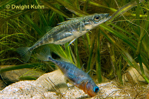 1S53-503z Threespine Stickleback, male showing gravid female the entrance to his nest, Gasterosteus aculeatus