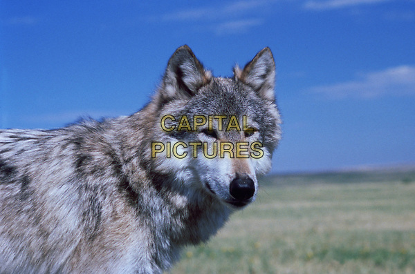 Dances with Wolves (1990)  <br /> *Filmstill - Editorial Use Only*<br /> CAP/KFS<br /> Image supplied by Capital Pictures