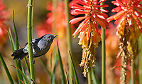 A male Slaty flowerpiercer perches among colorful flowers in Costa Rica's central highlands.