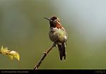 Anna's Hummingbird Male, Descanso Gardens, Southern California