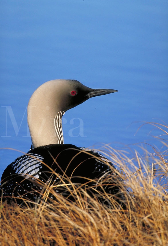 Pacific Loon at nest. Nesting birds. Churchill, Canada Manitoba.