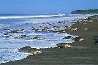 olive ridley sea turtle, Lepidochelys olivacea, females, coming onto nesting beach during arribada - mass nesting, Ostional, Costa Rica, Pacific Ocean