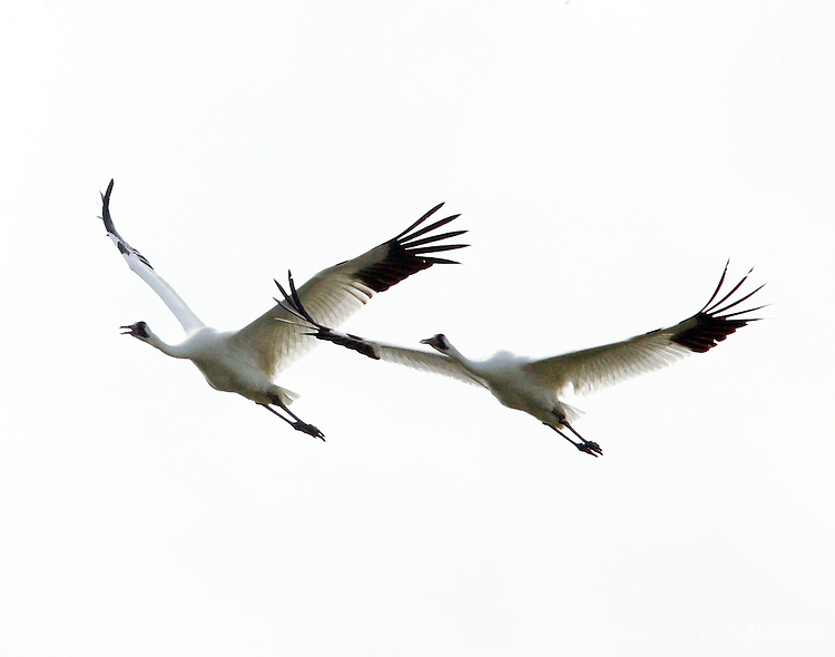 Whooping crane pair flying and calling