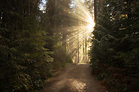 Road/trail along Opal Creek with sunburst/godrays. Opal Creek Wilderness, Oregon
