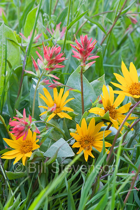 A photo of Indian Paintbrush and Arrowleaf Balsamroot wildlowers.