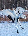 Japan, Hokkaido, red-crowned or Japanese crane (Grus japonensis)