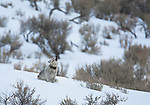A wolf howls in winter, Yellowstone National Park, Wyoming, USA, January 10th, 2009.  The wolf is wearing a radio collar attached by a biologist.  The collar helps the scientists find the wolves.  This female is from a pack known as the Druids.  Photo by Gus Curtis