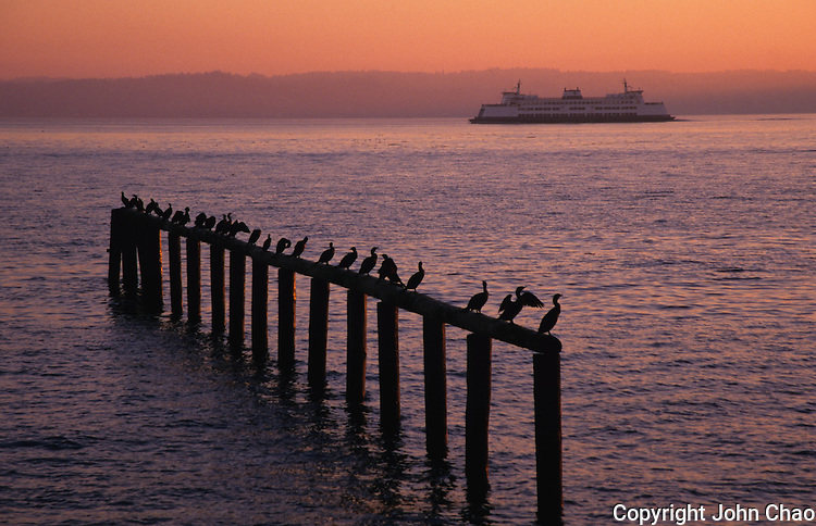 Silhouetted cormorants roosting on pilings as Washington State Ferry passes on sunset colored water, Puget Sound, Washington State.