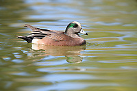 American Wigeon (Anas americana), male swimming in a pond at Floyd Lamb Park in Las Vegas, Nevada.