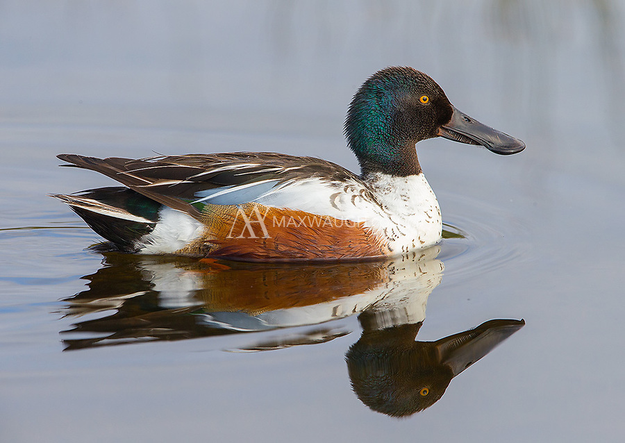 The Northern shoveler sports a distinct large bill, which is great for dabbling.