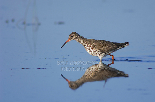 Common Redshank, Tringa totanus, adult walking,National Park Lake Neusiedl, Burgenland, Austria, April 2007