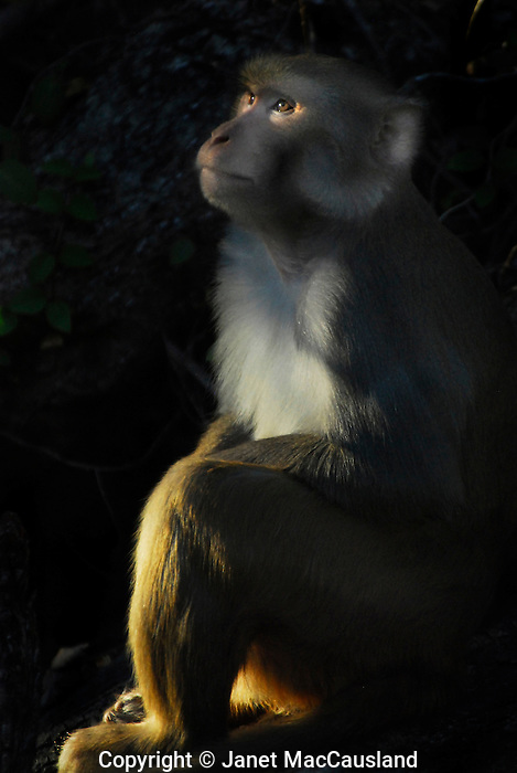 A Female Rhesus Macaque, or monkey, perhaps a mother or an aunt, watches the juveniles play in the upper tree branches at the end of the day. They share much DNA with humans. This image was awarded an honorable mention in the Wickford Art Association's annual members show, April 15, 2012.