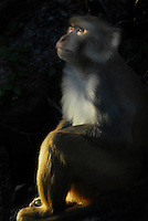 A Female Rhesus Macaque, or monkey, perhaps a mother or an aunt, watches the juveniles play in the upper tree branches at the end of the day. They share much DNA with humans. This image was awarded an honorable mention in the Wickford Art Association's annual Members Exhibit, April 15, 2012.