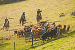 Spring cattle marking and branding at Frank & Collette Busi's ranch in the rural Sierra Foothills of California.