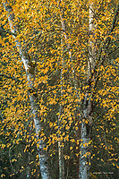 Birch trees in autumn color