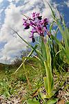 A Orchid (Orchis longicornu) in habitat, Sicily, Italy.