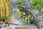 TURKS & CAICOS GROUND IGUANA, Cyclura carinata, AMBERGRIS CAY, CRITICALLY ENDANGERED
