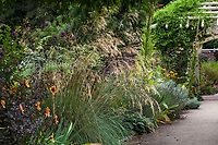 Perennial border with flowering Stipa gigantea ornamental grass; Gamble Garden, Palo Alto, California