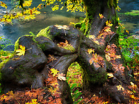 Big Leaf Maple tree in fall color.Silver Falls State Park, Oregon