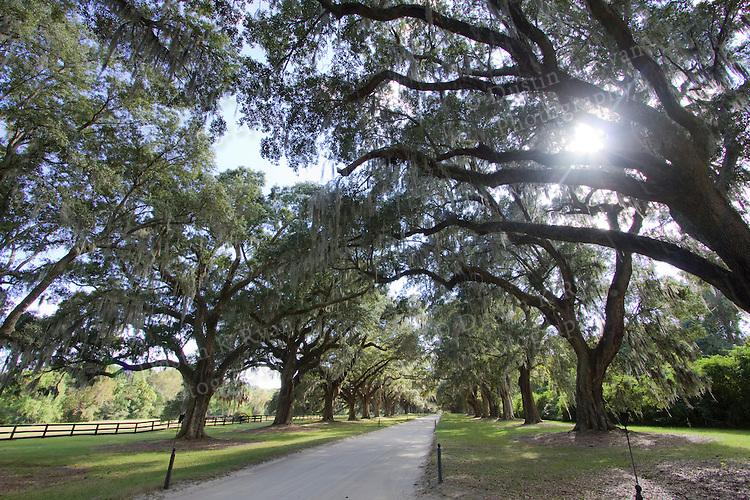 Boone Hall Plantation Live Oaks Driveway Charleston South Carolina