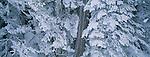 Evergreen forest, Mount Rainier National Park, Washington